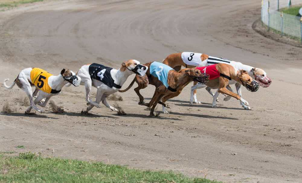 Greyhound derby 2021 betting online mauro betting atletico mineiro galo