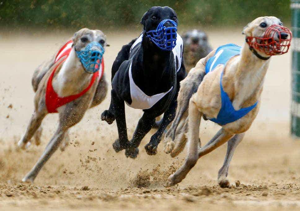 Greyhound derby 2021 betting online race horse betting calculator exacta